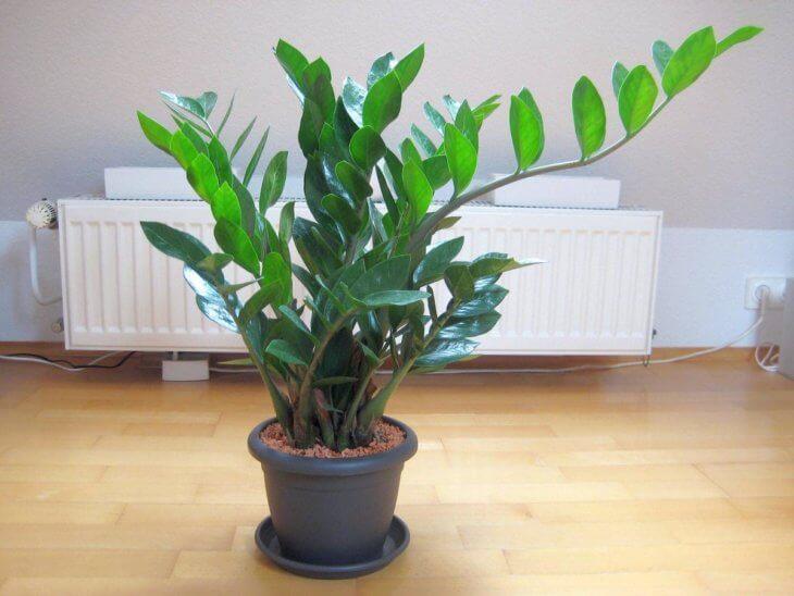 Взрослое растение, выращенное в квартире
