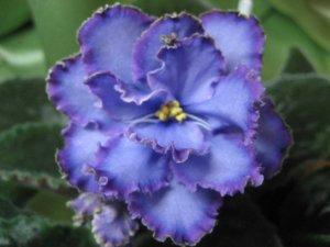 Прекрасное цветение фиалки