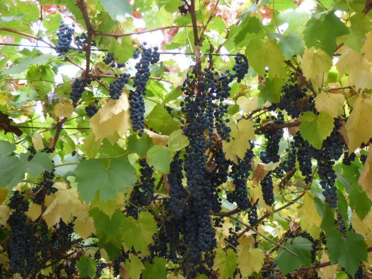 Первые плоды винограда в саду