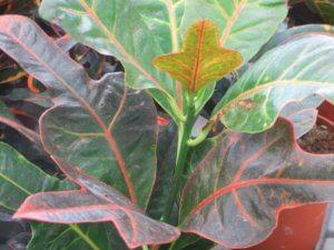 Новые листики кодиеума