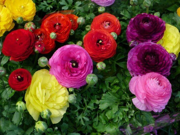 Разноцветное цветение ярких ранункулюсов