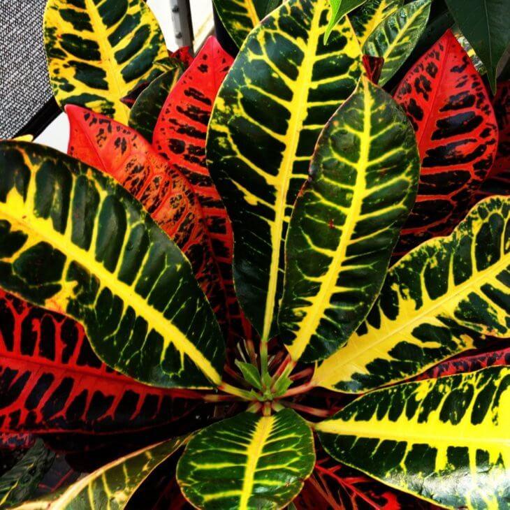Лат. Codiaeum variegatum