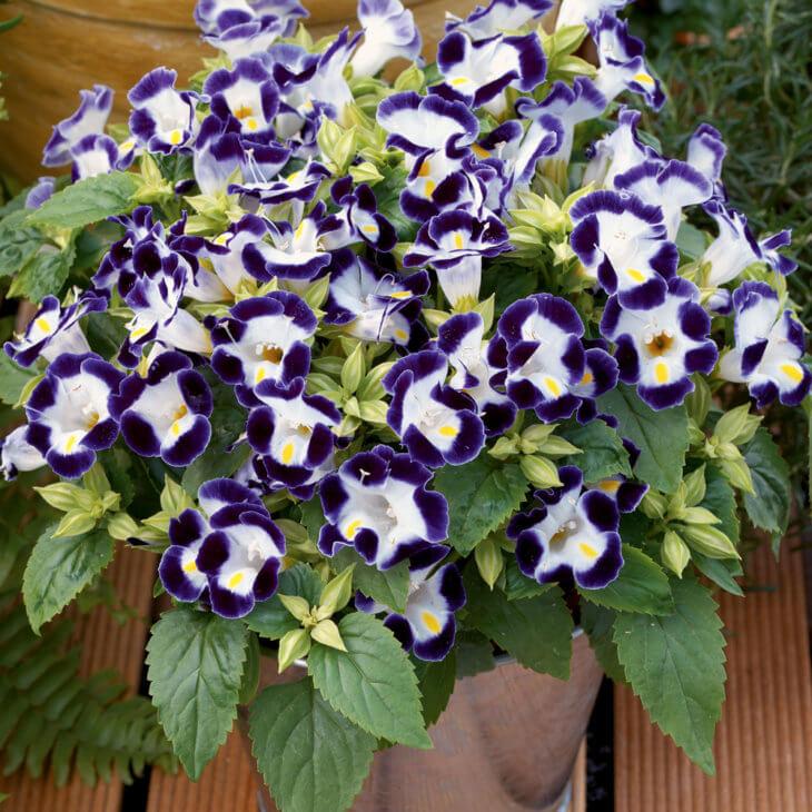 Прекрасное цветение Торении Кауай