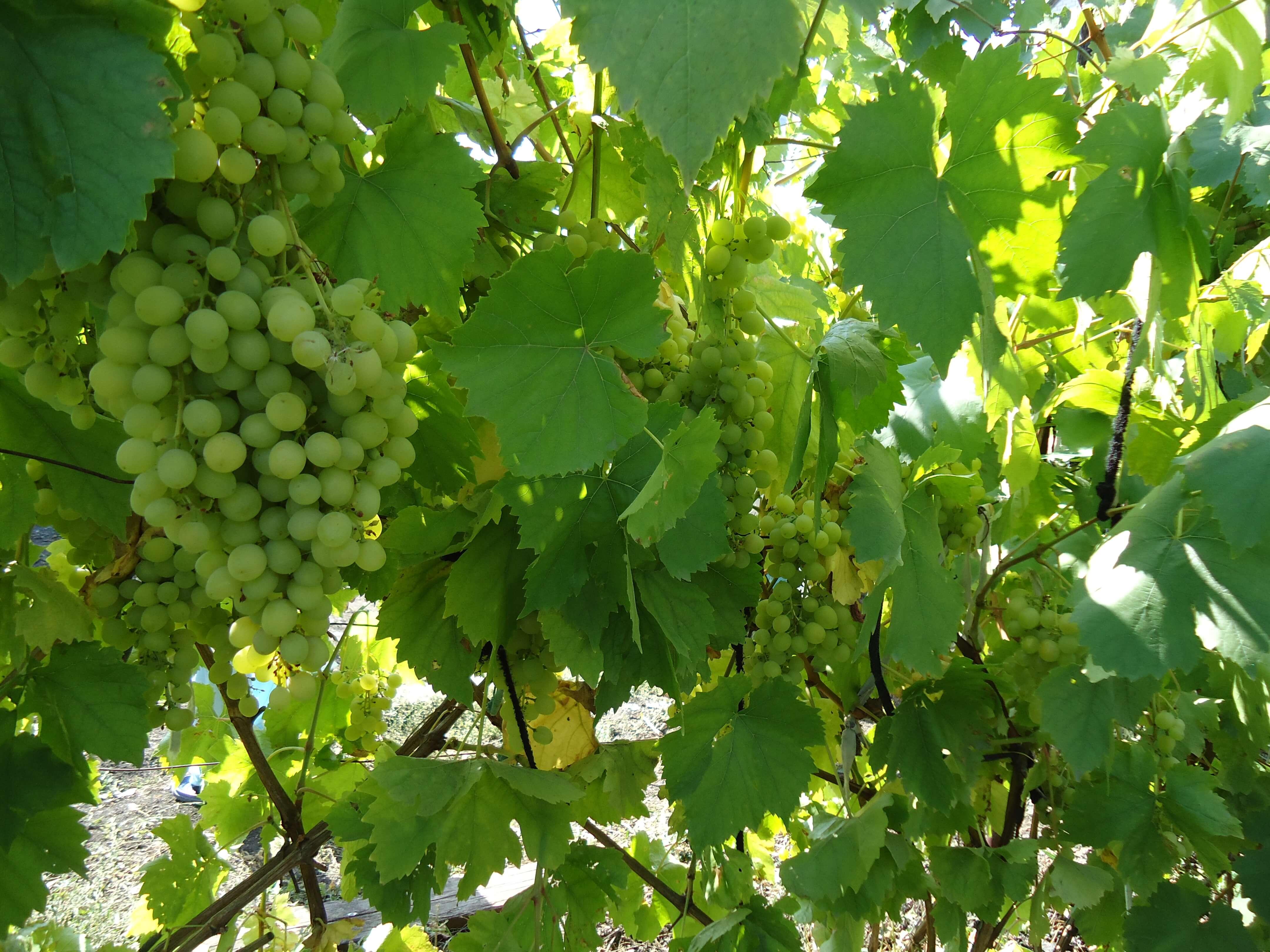 Сорт винограда Алешенькин: описание и выращивание