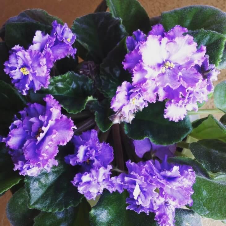 При правильном уходе фиалка будет радовать обильным цветением