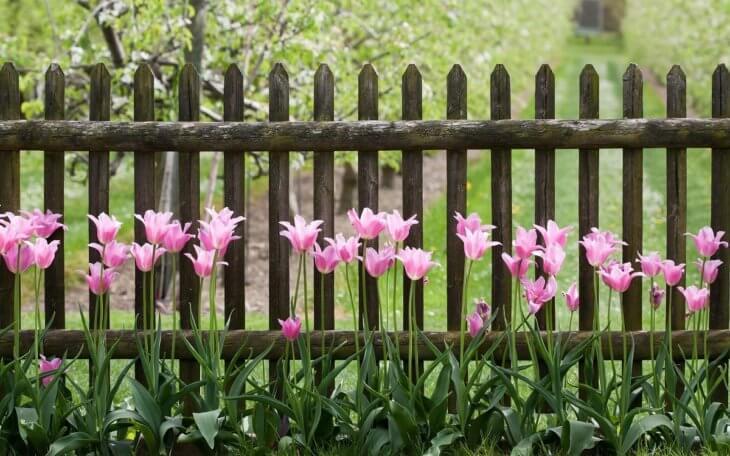Тюльпаны на клумбе