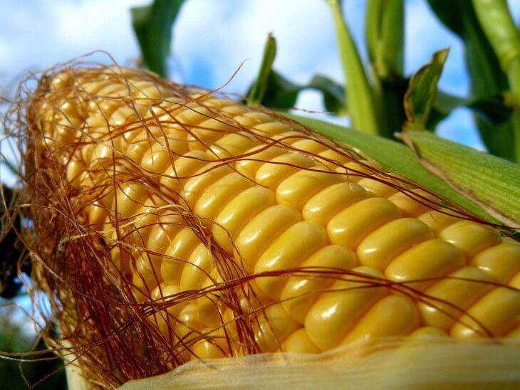 Здоровый початок кукурузы