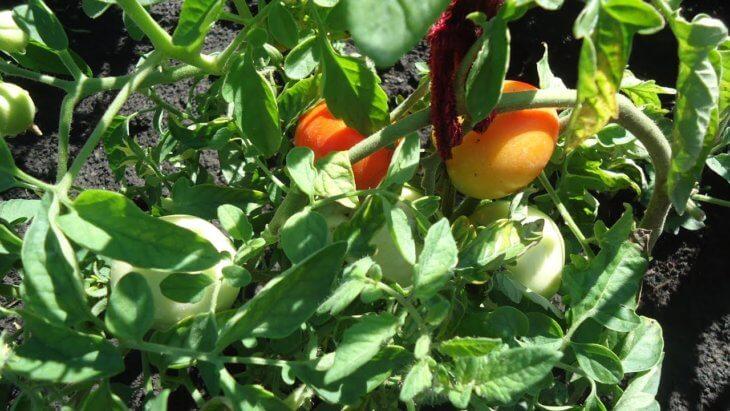 Поспевание прекрасных томатов