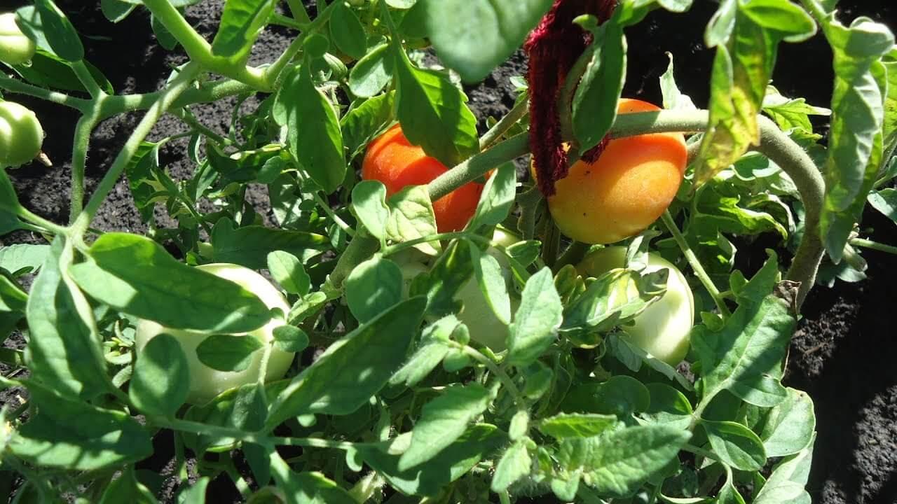 Перспективный сорт томатов Раджа: описание, особенности посадки, ухода и выращивания