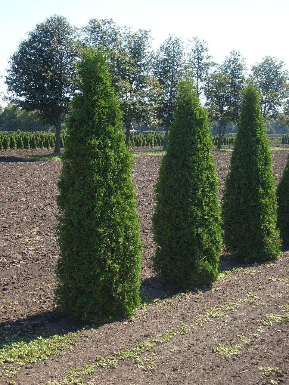 Туя колоновидная: сорта и выращивание дерева