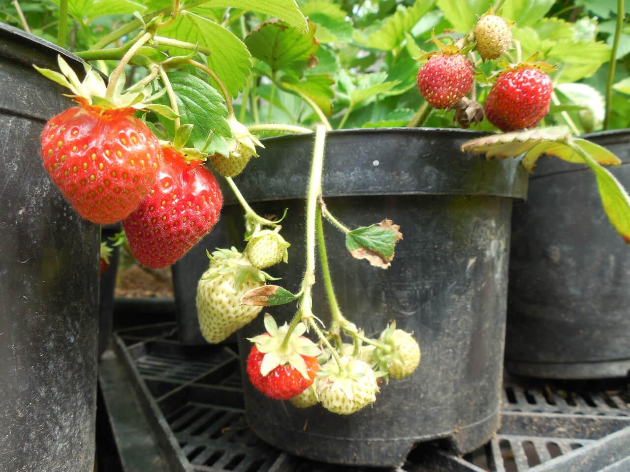 Клубника кустовая: как правильно выращивать