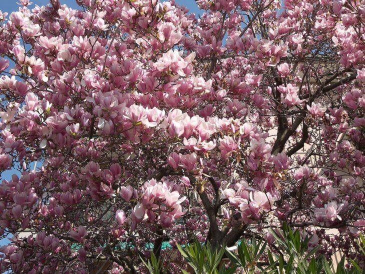 Лат. Magnolia