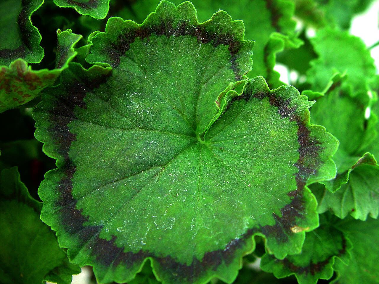 Особенности цветения пеларгонии Distinction и все, что нужно знать о данном сорте
