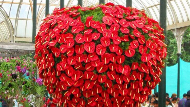 Здоровое растение - антуриум