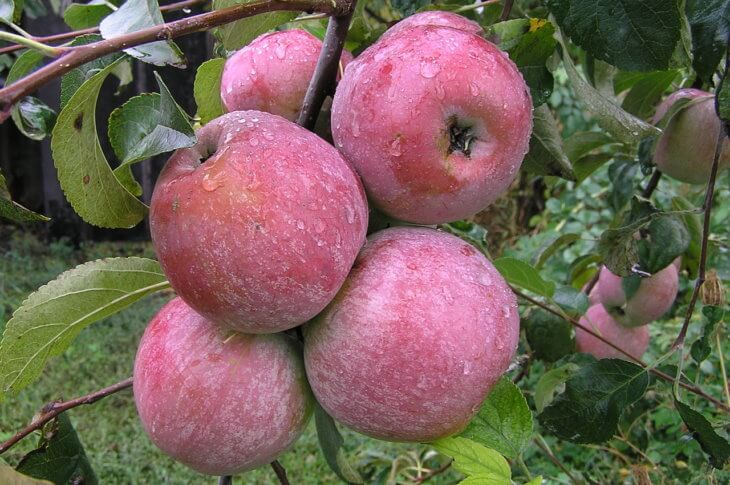 Прекрасные плоды яблони на даче