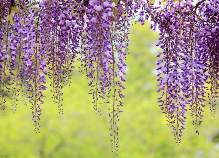 Нежное цветение глицинии