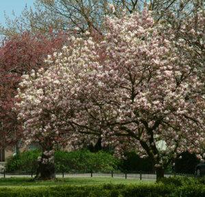 Цветение магнолии в парке