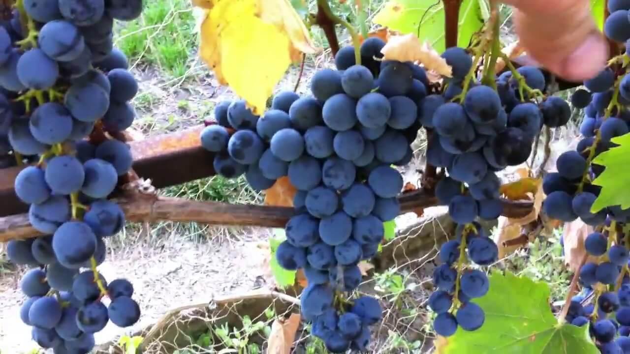 Осенний черный сорт винограда: как вырастить богатый урожай