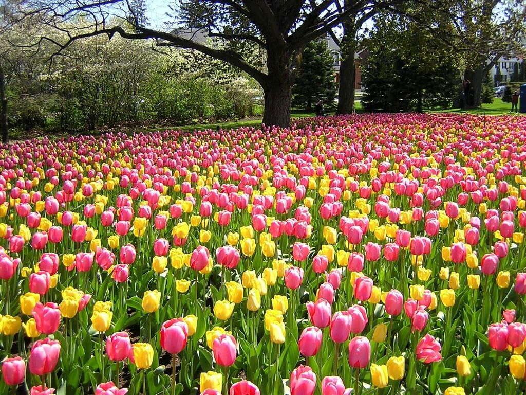 Время посадки тюльпанов осенью - основные характеристики периода