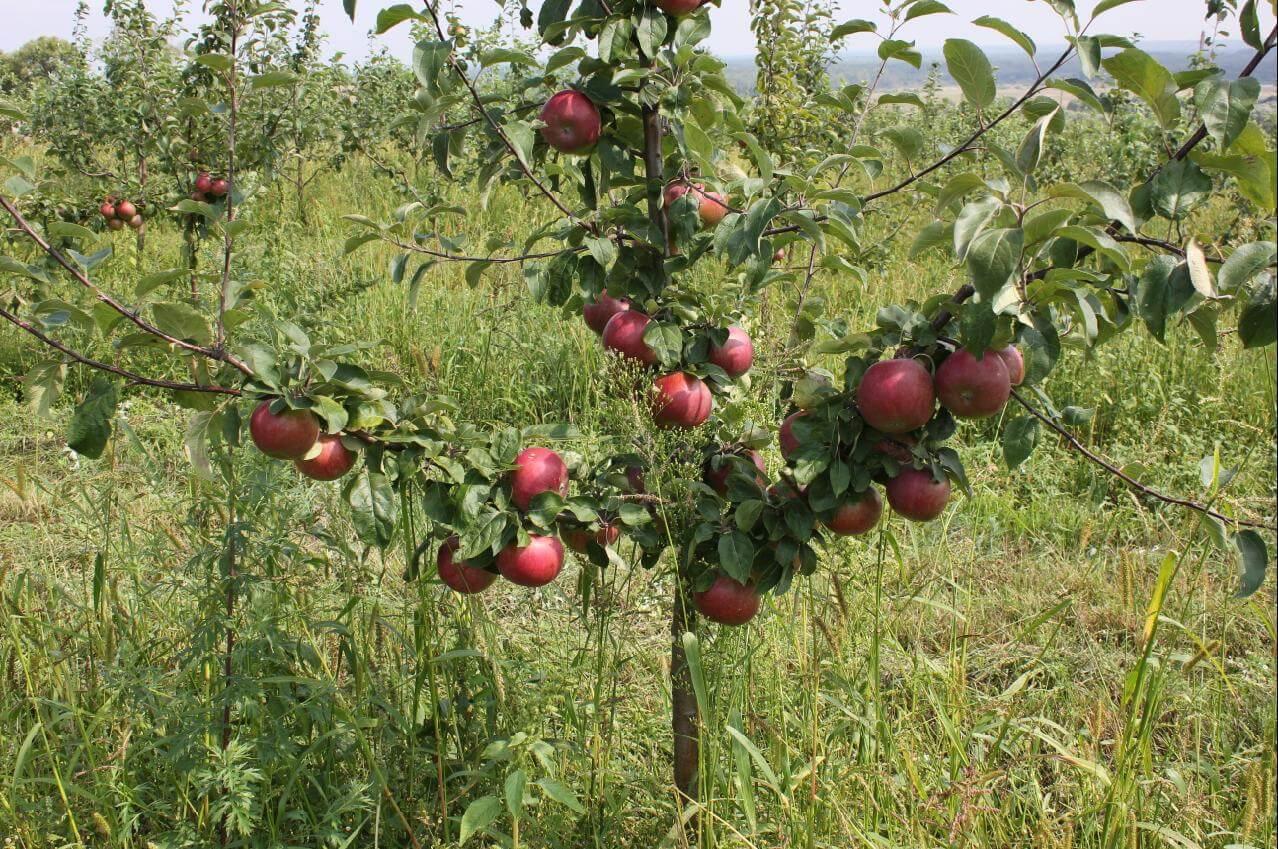 Яблонька Зорка: описание дерева, правила посадки, рекомендации по выращиванию