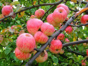 Прекрасное плодовое лиственное дерево на участке