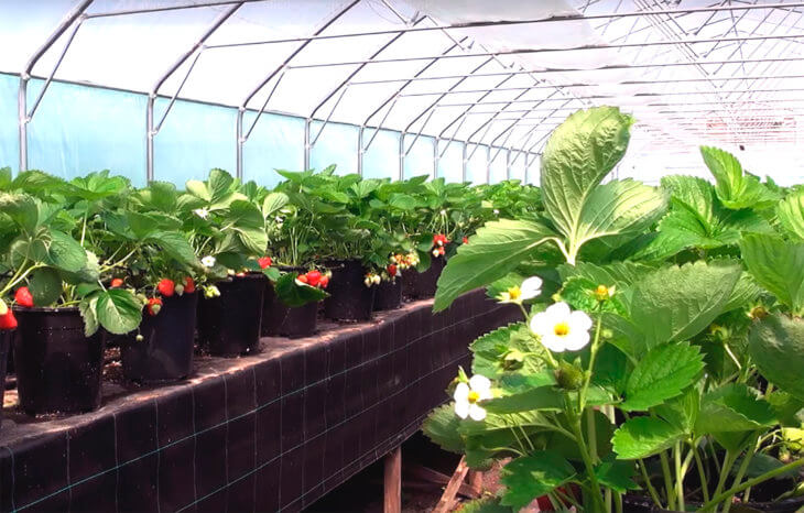 Выращивание клубники в торфе