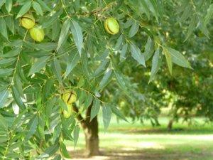 Поспевание пекана на дереве
