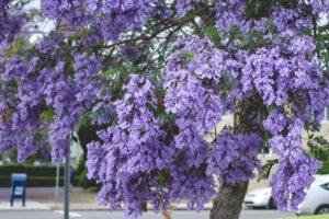 Цветение прекрасной джакаранды