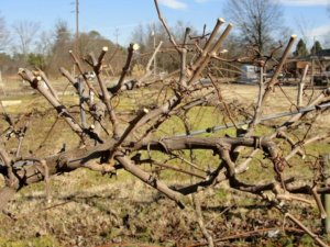 Лоза винограда, которая требует обрезки