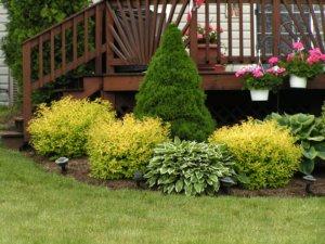 Украшение участка хвойными растениями и хостами