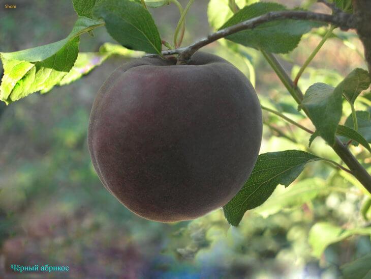 Здоровый абрикос будет радовать каждого садовника