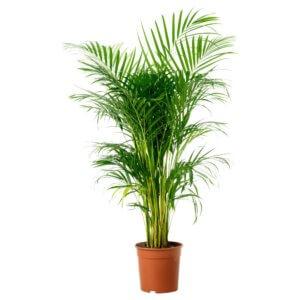 Хамедорея изящная: уход в домашних условиях за цветущей пальмой