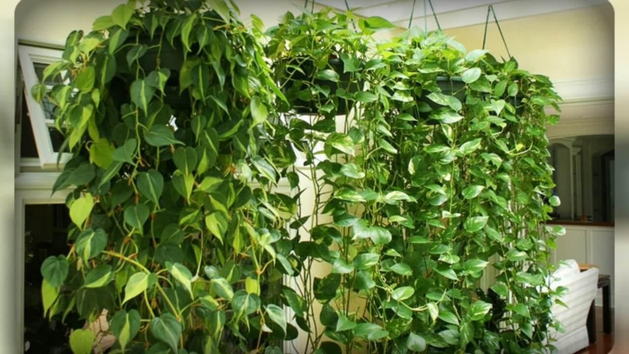 Сциндапсус: уход в домашних условиях и необходимые правила для пересадки растения
