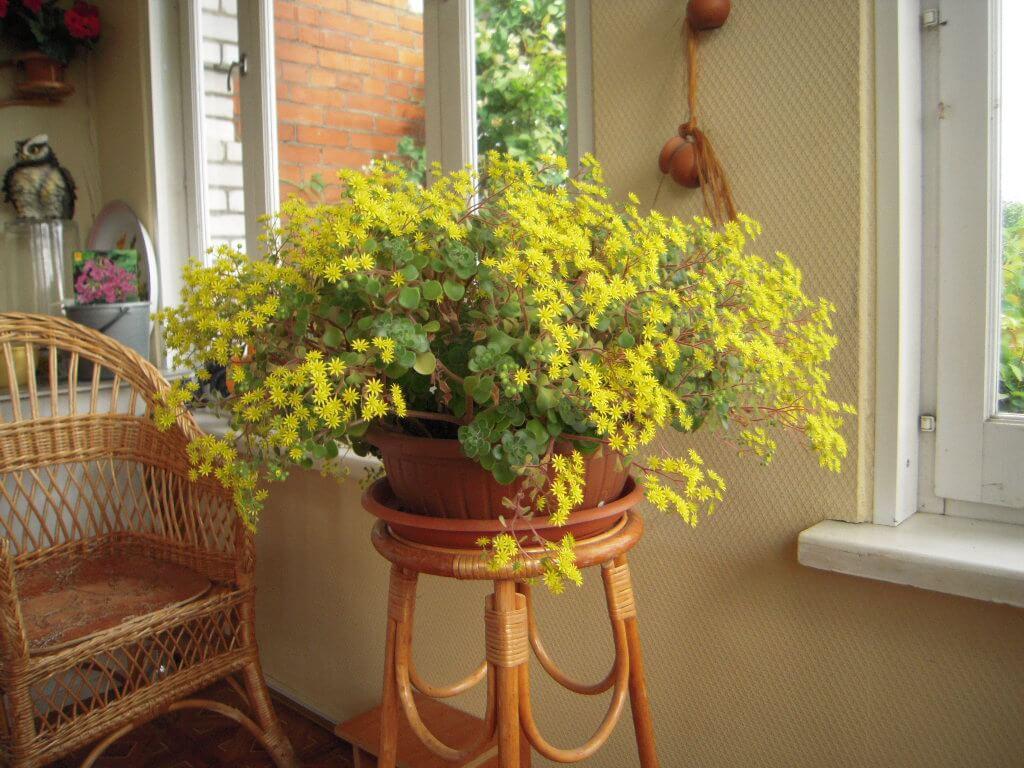 Цветок аихризон - основные характеристики