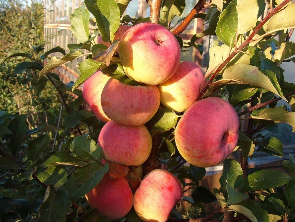 Отзывы о яблоне услада: описание и правила выращивания