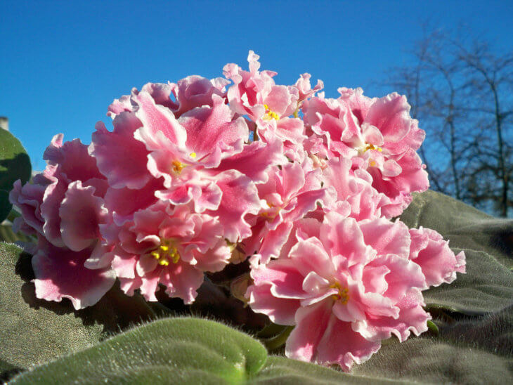 Цветение фиалки