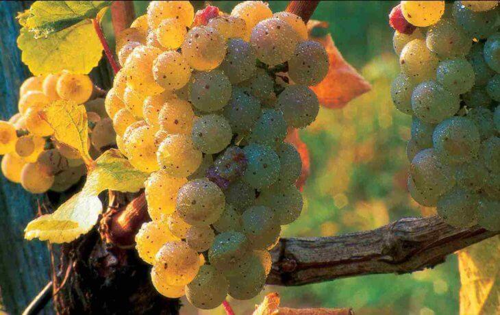 Обработка винограда препаратом