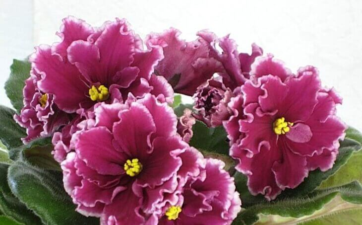 Фиалка Зимняя вишня - фото