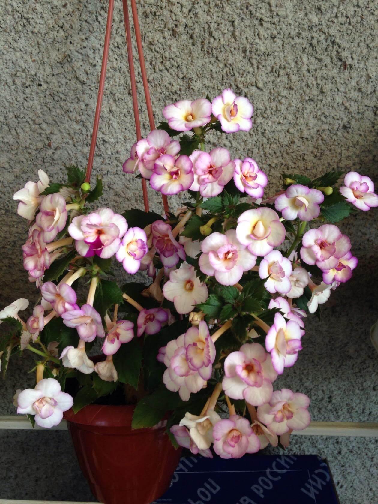 Как цветет Ахименес Shy Sun и как проводится высадка растения в открытый грунт