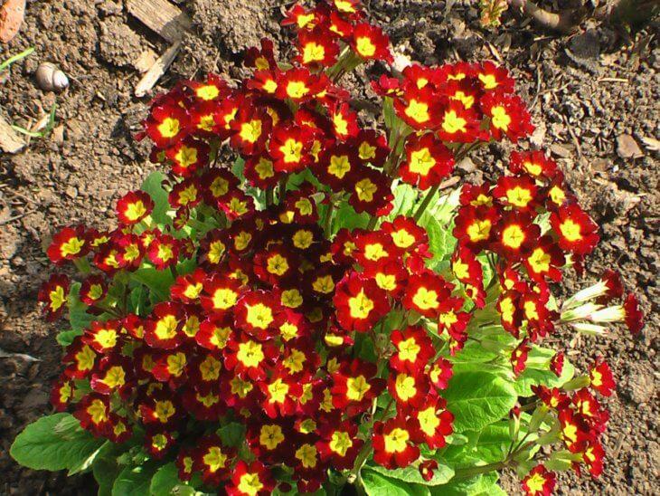 Лат. Primula vulgaris