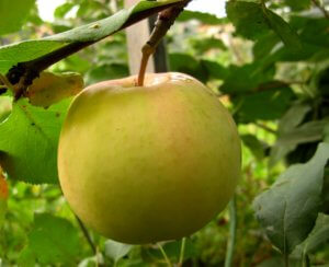 Не забывайте об удобрении яблони