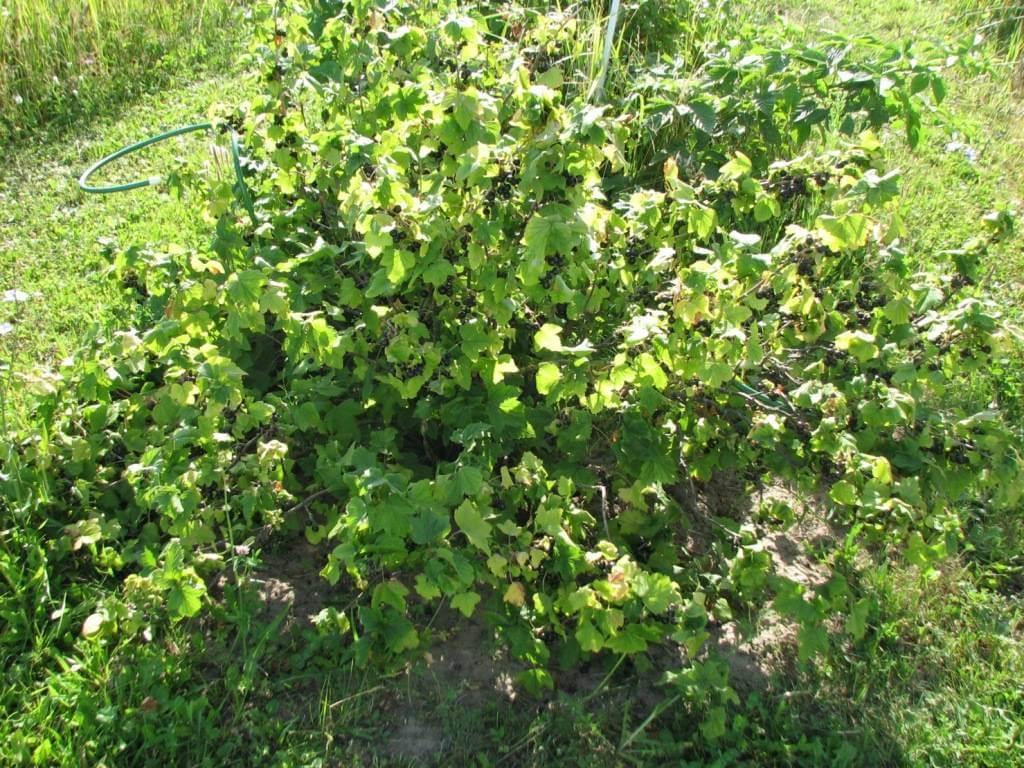 Выращивание смородины как бизнес: как правильно рассчитать рентабельность