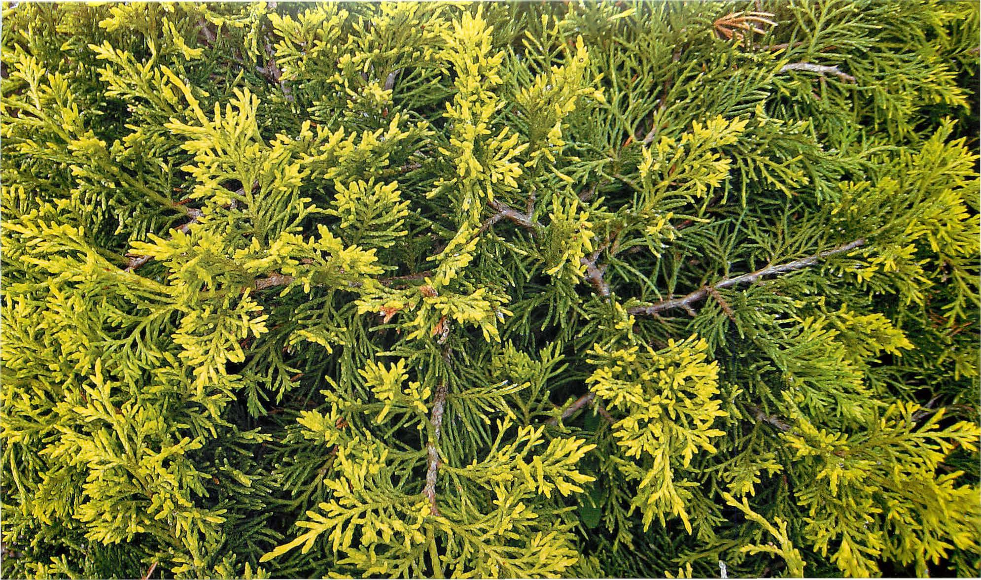 Можжевельник олд голд: описание, уход, место для выращивания