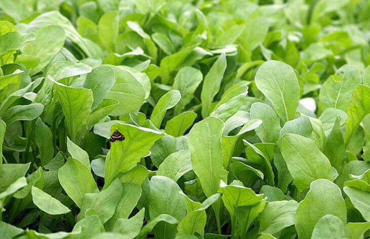 Выращивание рукколы на грядке
