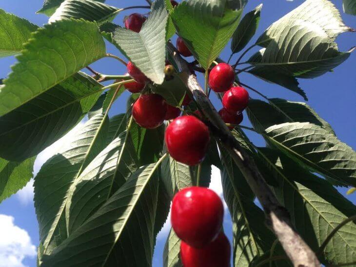 Лат. Prunus avium