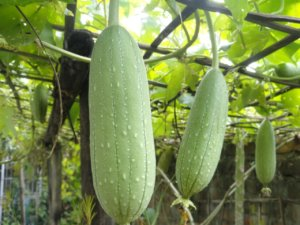 Плоды люффы