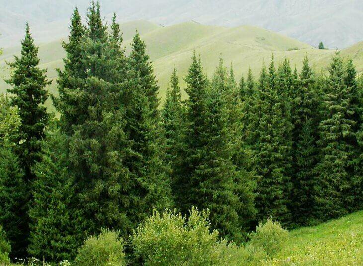 Как пересадить ель из леса на участок