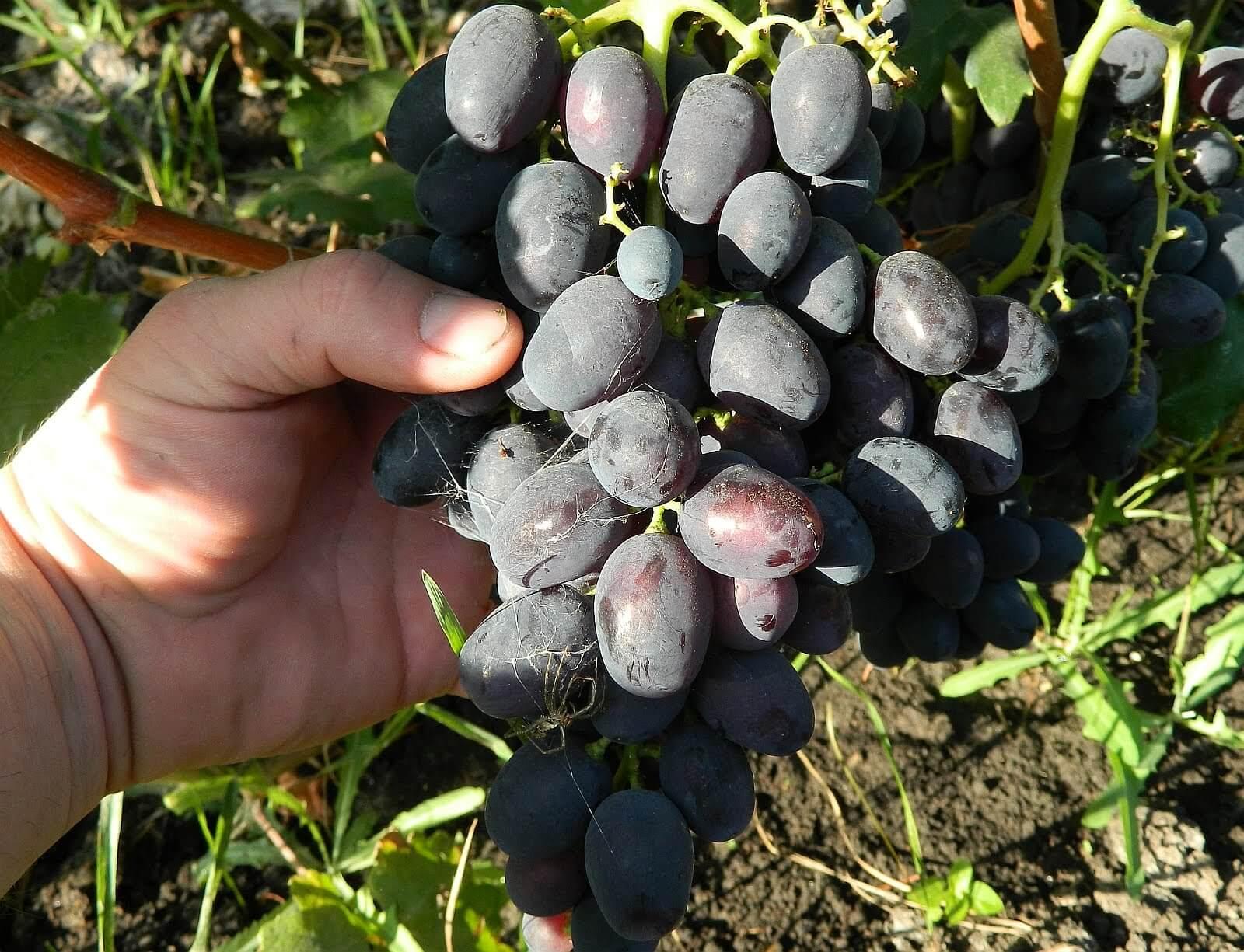 сочи виноделен виноград забава описание сорта фото это