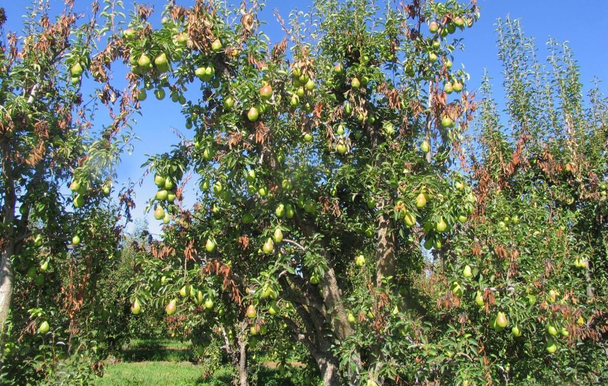 Бактериальный ожог яблони: причины и лечение современными методами