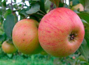 Плоды яблони Орлинка